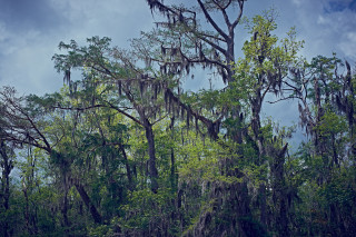 Deep South / Swamp Tree